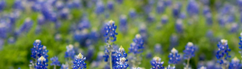 austin texas blue bonnets field